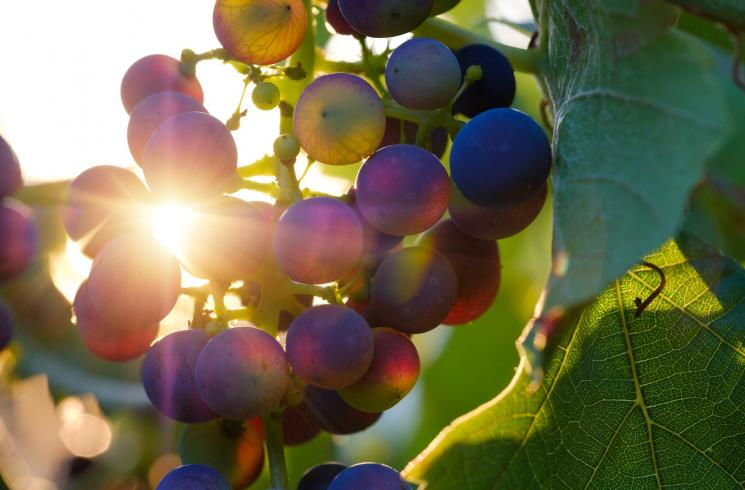 grapes-3550742_1920_Bruno_Germany